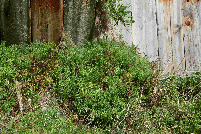 Rock Samphire patch Foraging in Folkestone