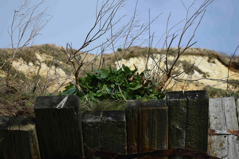 Sea Beet foraging in Folkestone