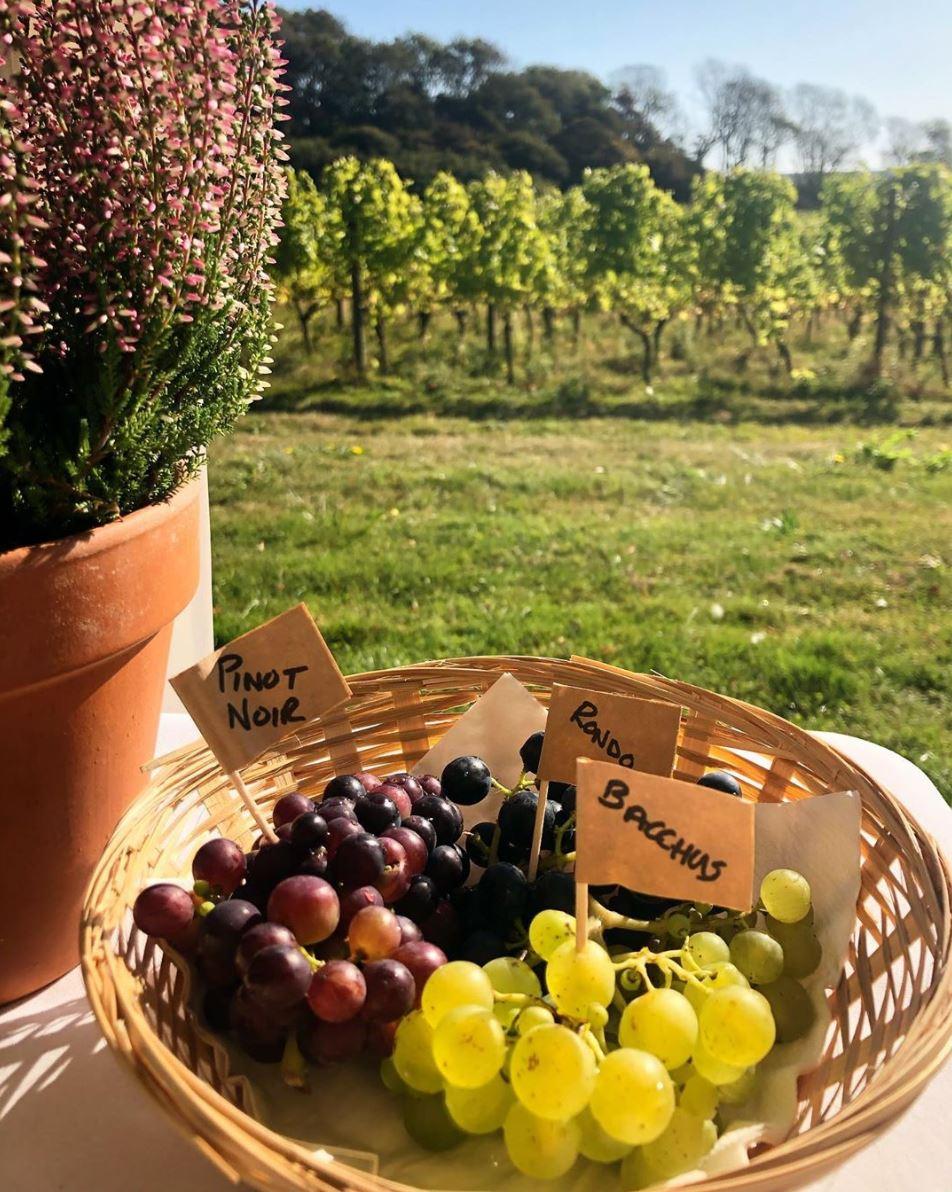 Grapes Terlingham Vineyard