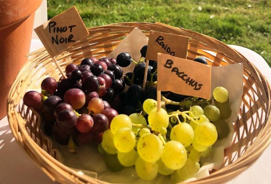 Grape Crop from Terlingham
