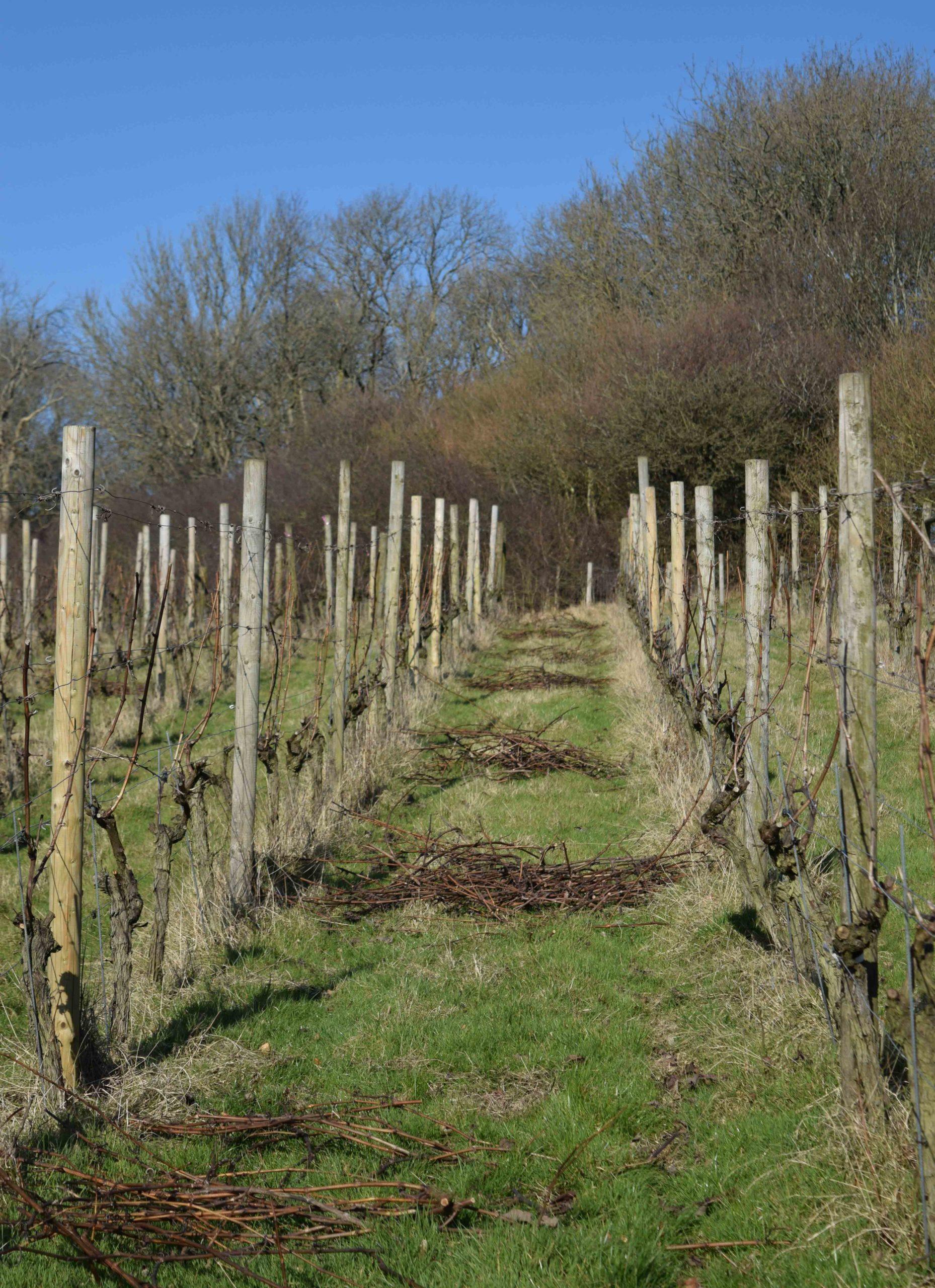 Vines in Winter Terlingham