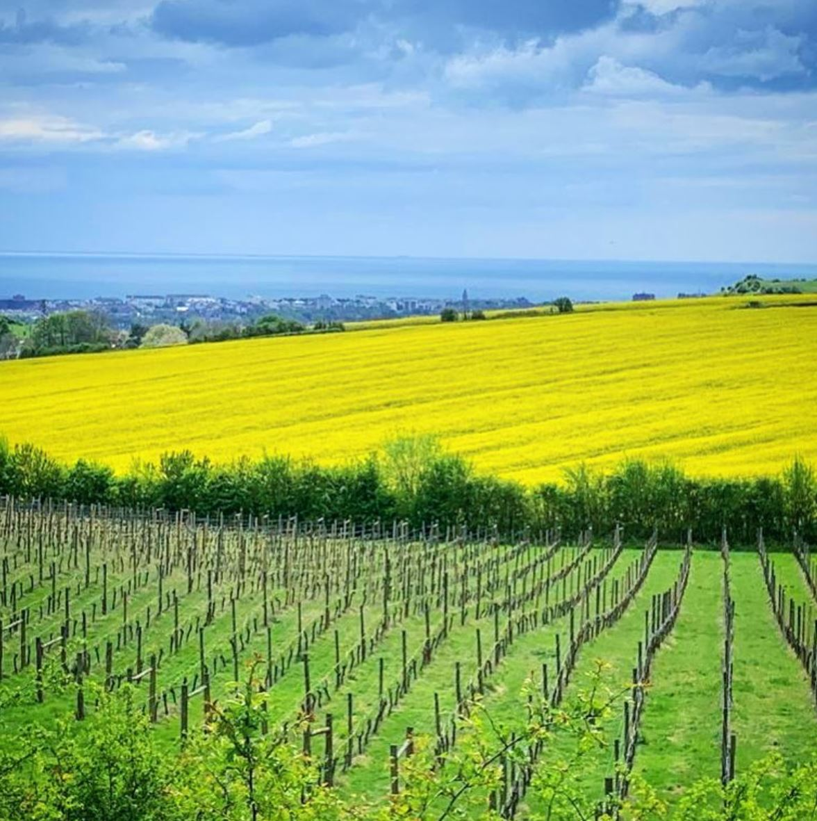 Terlingham Vineyard in the Spring