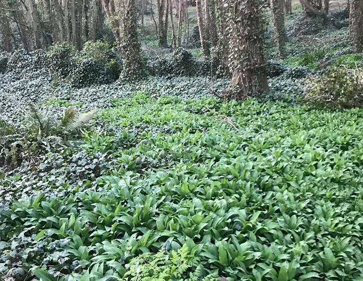 Wild Garlic Foraging