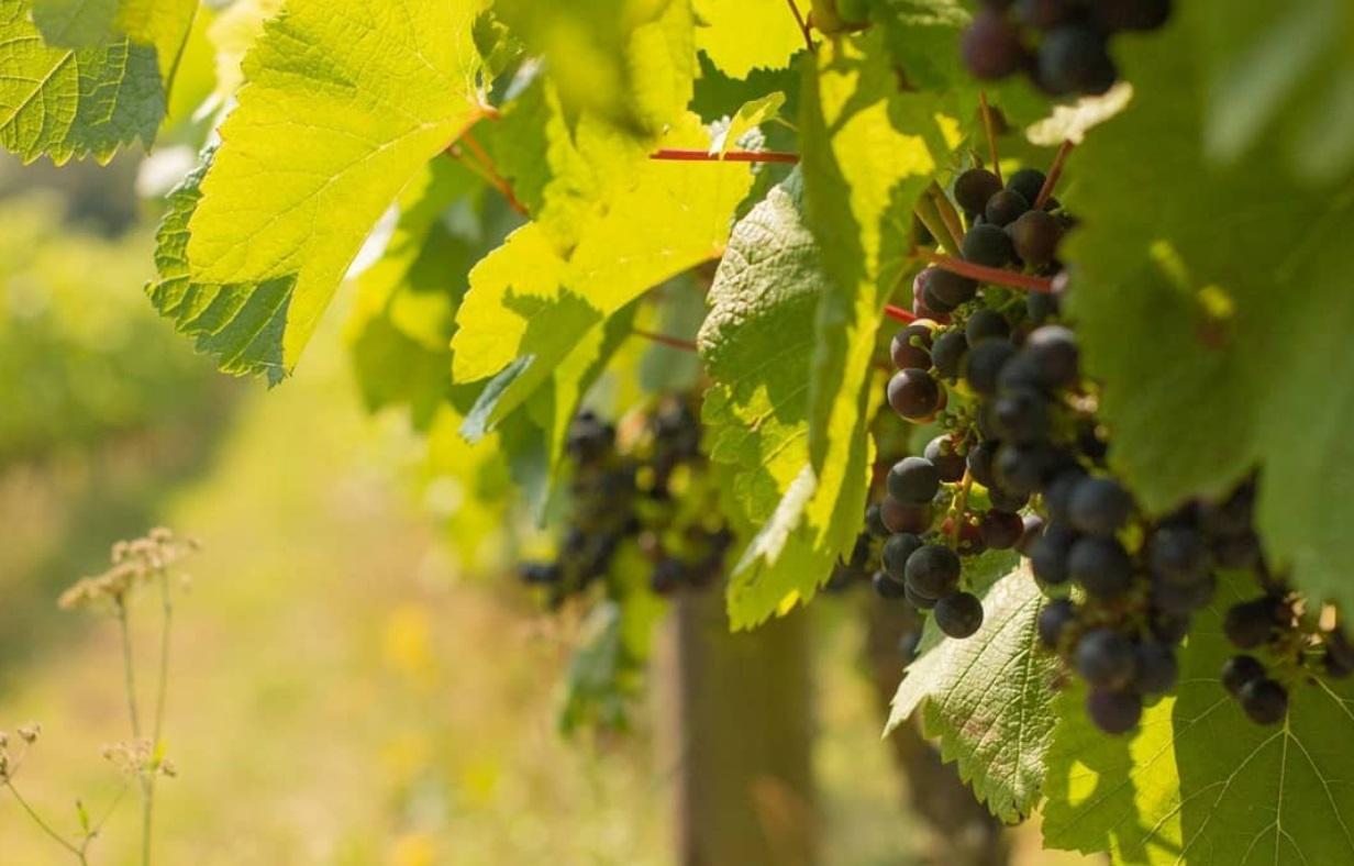 Terlingham Vineyard Grapes