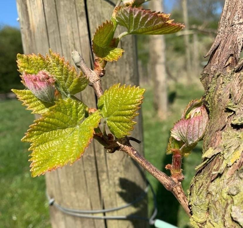 Terlingham Vineyard New Leaves