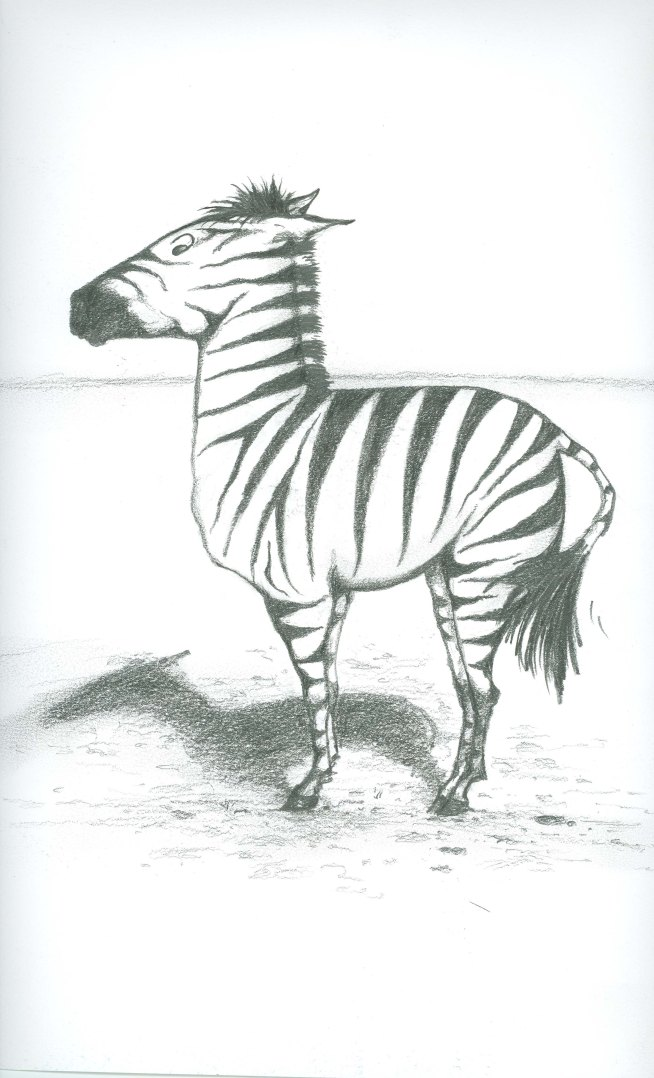 Surprised Zebra