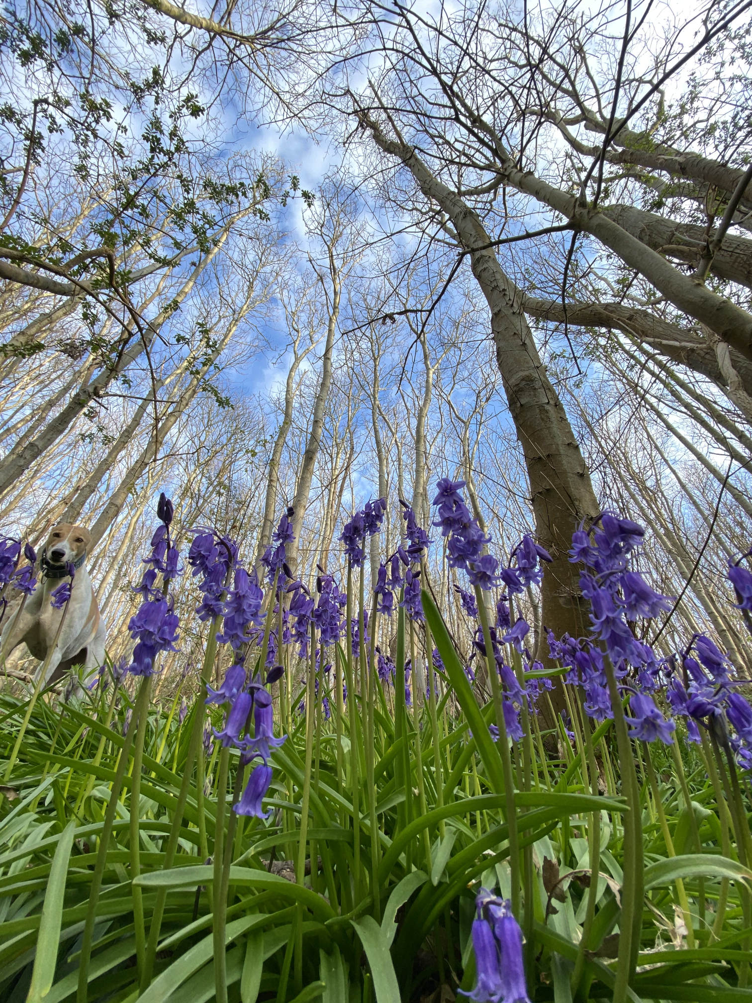 Trees and Bluebells Forest Bathing