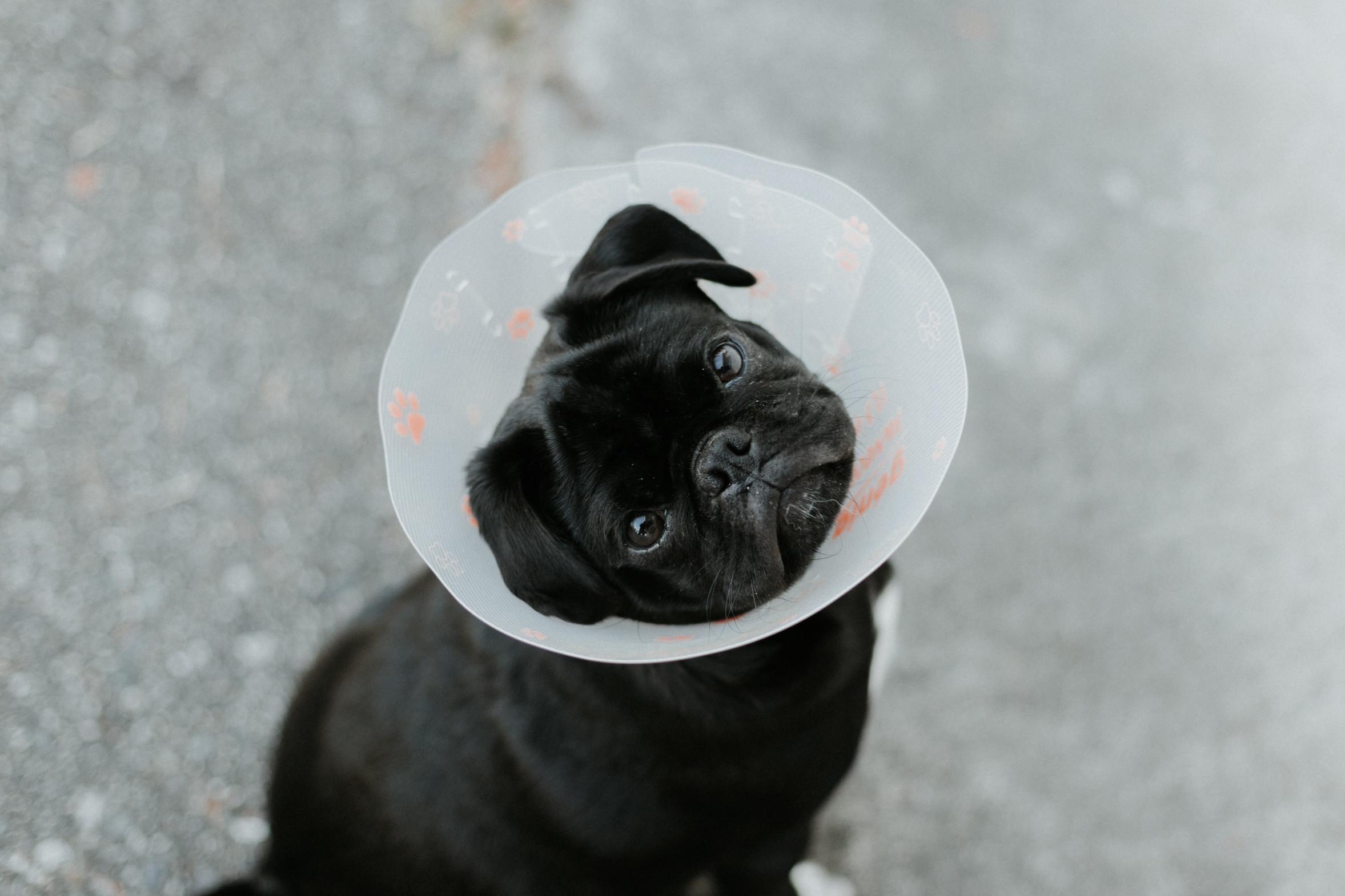 Dog in a lampshade Credit Priscilla Du Preez